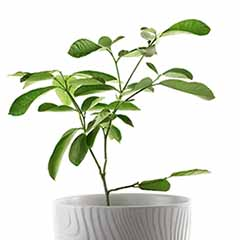 Lime Tree Citrus Plant