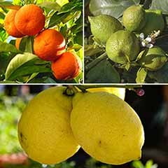 Citrus Grove Collection, Orange, Lemon and Lime