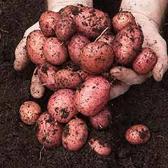 Seed Potato 'Desiree' - Pack of 6 Tubers