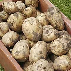Seed Potato 'Swift' - First early