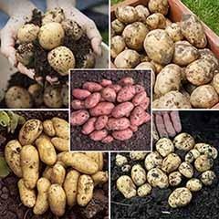 Christmas Seed Potato Bumper Pack - 5 varieties
