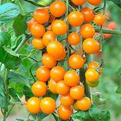 Cherry Tomato Sungold SuperSweet 6 plug Plants