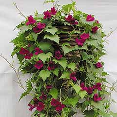 Lofos Wine Red Vine
