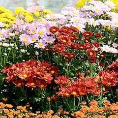 Chrysanthemum 'Garden Spray' Collection