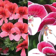 Geranium 'Angel Eyes' mixed collection