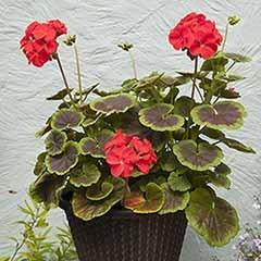 Geranium 'Black Velvet' Scarlet