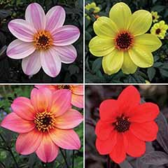 Dahlia 'Mystic' Collection