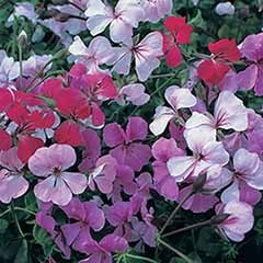 Trailing Ivy Geranium 'Summertime'  Mix