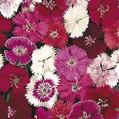 Sweet William Dianthus 'Festival' Mix