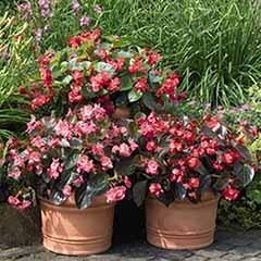 Bedding Begonia 'Big' Mixed