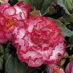 Upright Begonia 'Majestic Pink Picotee'