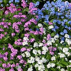 Myosotis 'Sylva' Mix (Forget Me Not's)