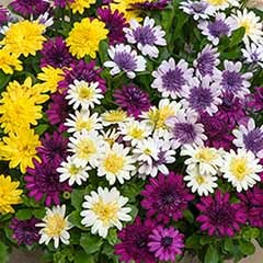 Osteospermum '3D' Collection