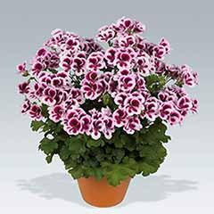 Pelargonium 'Candy Flowers' Collection.