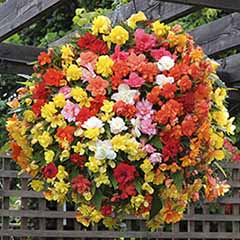 Begonia 'Super Cascade' Mix
