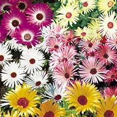 Mesembryanthemum 'Gelato' Mix