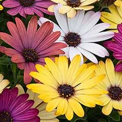 Osteospermum 'Grand Canyon' Mix