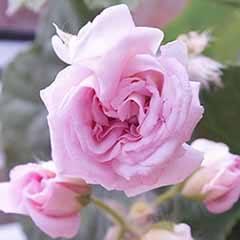 Rosebud Geranium 'Sybil Pink'