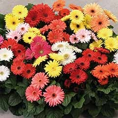 Bedding Gerbera 'Revolution' mix