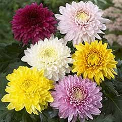 Garden Chrysanthemum Collection - 12 Bloom & 12 Spray