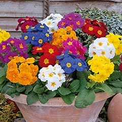 Polyanthus Crescendo 'Spring Fever' Mixed