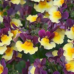 Nemesia 'Rhubarb and Custard'