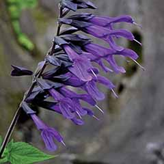 Salvia 'Amistad' 6 jumbo plugs