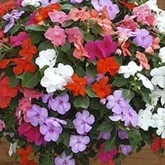 Impatiens Busy Lizzie DeZire mix 20 large garden ready plants