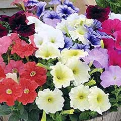 Petunia Frenzy Mixed 20 pack