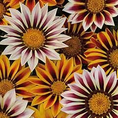 Gazania Kiss Mixed 20 pack