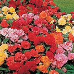 Upright Begonia 'Non-Stop' Mix