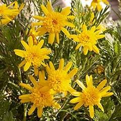 African Bush Daisy Euryops Sunshine Silver Double Yellow