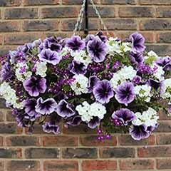 'Parma Violet' Jumbo Bedding Plug Mix