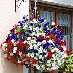 Patriotic Petunia Collection, 12 Jumbo Plugs in 3 Colours.