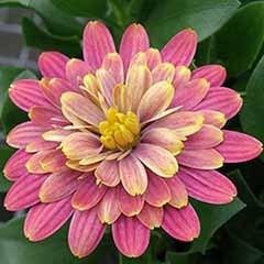 Osteospermum Double Fun Pink Bicolour African Daisy