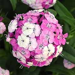Dianthus barbatus 'Dash Magician' Sweet William