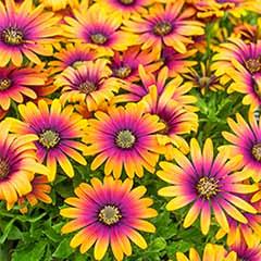 African Daisy Osteospermum ' Purple Sun'