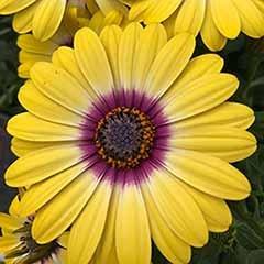 African Daisy Osteospermum 'Tropic Sun'