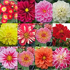 Delicious Dahlias 'Lubega' (R) Series x 12