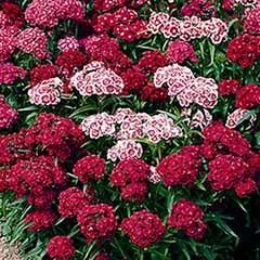 Sweet William Dianthus 'Indian Carpet'