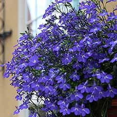 Lobelia 'Crystal Palace Blue'