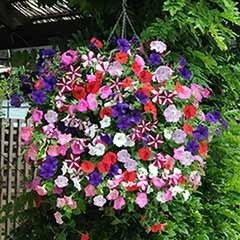 Petunia 'Easy Wave Ultimate Mixed'