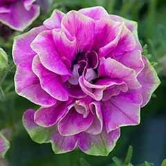 Petunia Tumbelina 'Darcey Rosa'