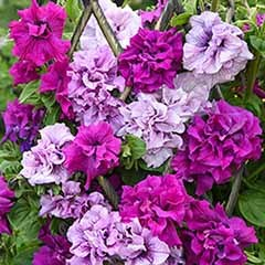 Petunia 'Dizzy Heights Double Mix'