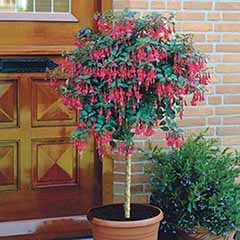 Flowering Fuchsia Tree