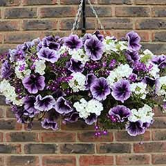 Pair of 'Parma Violet'  Pre-Planted Baskets