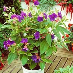 Tibouchina urvilleana 'Rich Blue'
