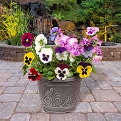 Pair Preplanted Pansy Matrix Metallic Planters 28cm (11in)