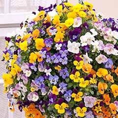 Pre-planted Viola Rattan basket 25cm 10in