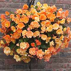 Pair of Begonia 'Apricot Shades' Preplanted Baskets